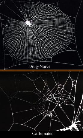 File:Caffeinated spiderwebs.jpg