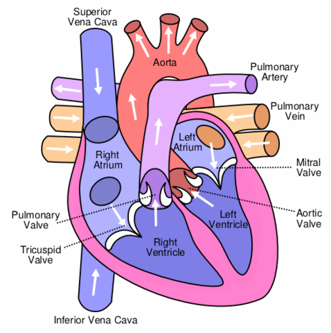 File:Heart labelled large.png
