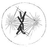 File:Metaphase.jpg