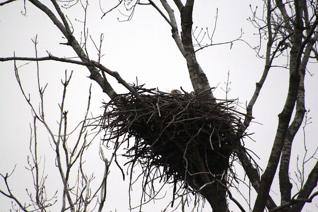 File:Bald eagle nesting.JPG