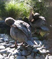 Blue ducks preening