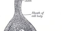 Bipolar neurons