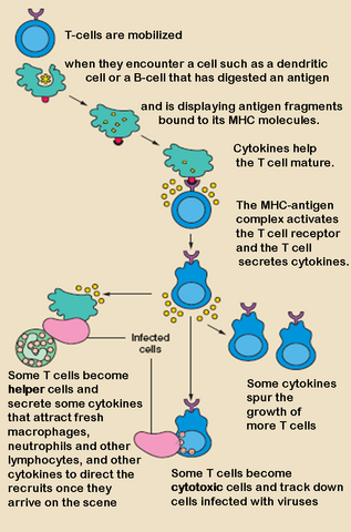 File:T cell activation.png
