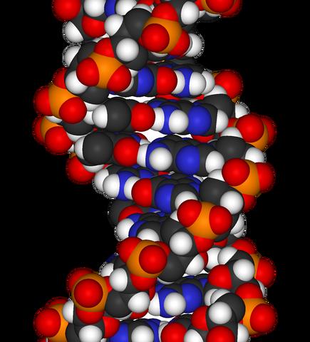 File:DNA-fragment-3D-vdW.png