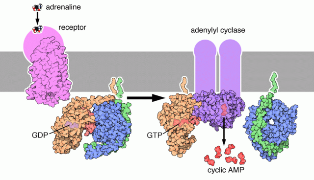File:G protein signal transduction (epinephrin pathway).png