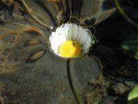 Dscn3156-daisy-water 1200x900