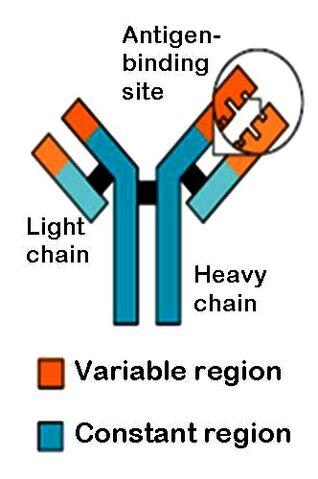 File:Antibody.jpg