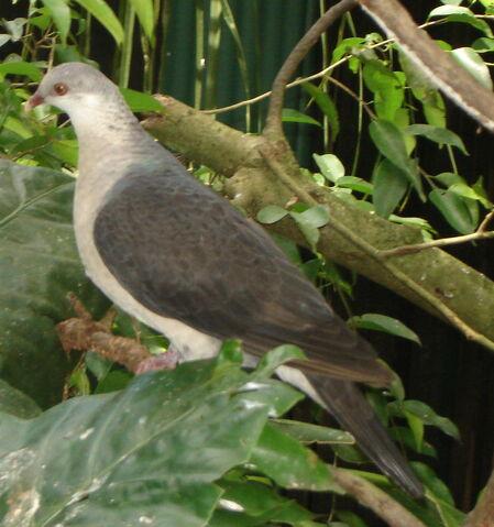 File:White-headed pigeon.JPG