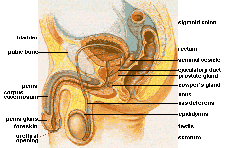 File:Male anatomy.png