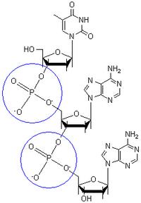 PhosphodiesterBondDiagram
