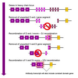 VDJ recombination