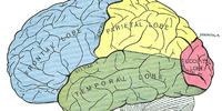 Temporal lobe