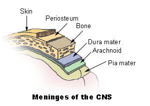 File:Illu meninges.jpg