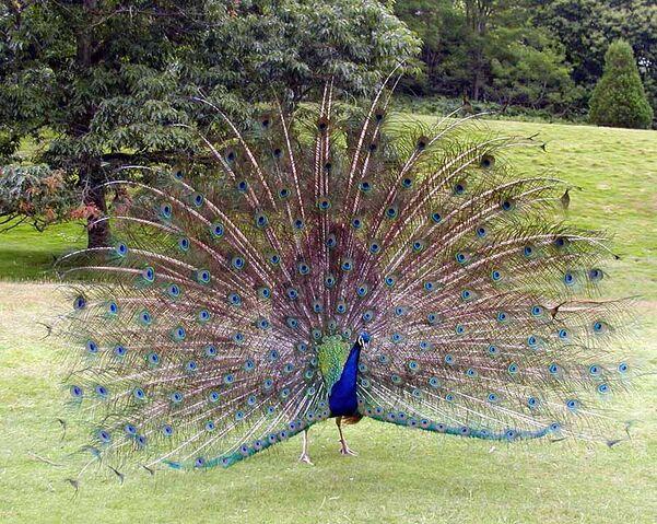 File:Peacock.displaying.better.800pix.jpg