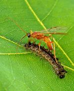 Aleiodes indiscretus wasp parasitizing gypsy moth caterpillar