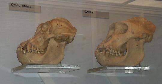 File:Orang.gorilla.skulls.jpg