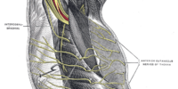 Thoracic nerves