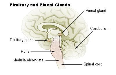 File:Illu pituitary pineal glands.jpg