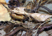 Bristol.zoo.dead.leaf.mantis.arp