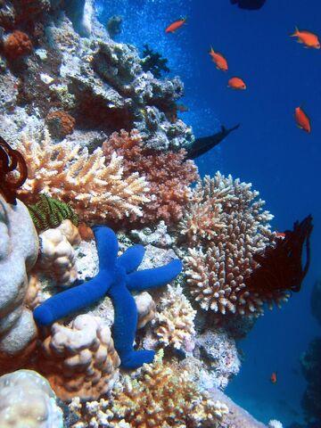 File:Blue Linckia Starfish.JPG