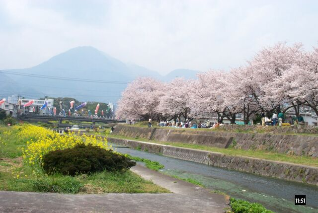 File:Hanami party, sakura and koi nobori.jpg