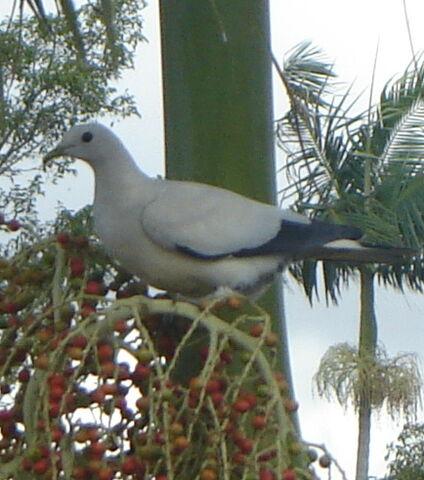 File:Pied Imperial Pigeon.jpg