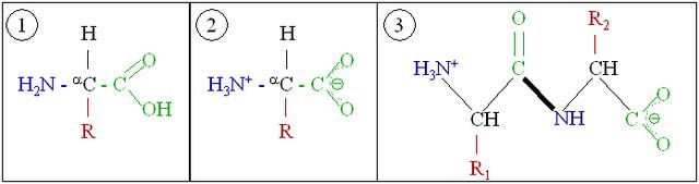 File:Amino acids 1.png