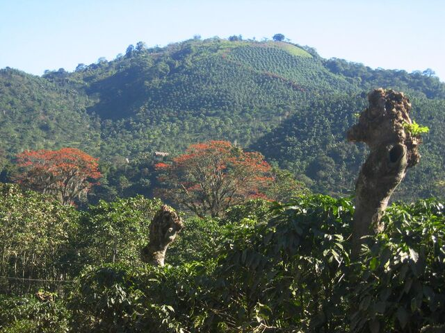 File:DirkvdM orosi coffee-trees.jpg
