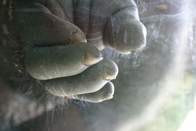 File:Gorilla-hand.jpg