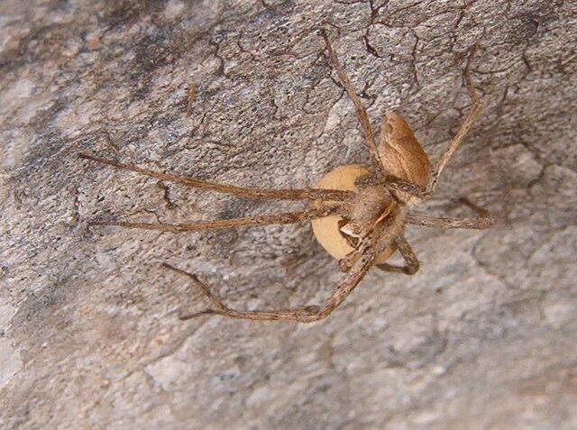 File:Spider egg sac.jpg