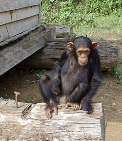 South Djoum Chimp