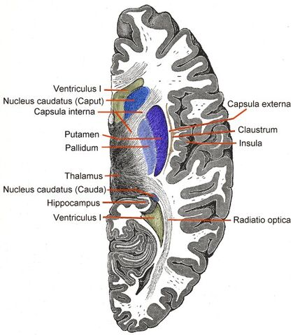 File:Telencephalon-Horiconatal.jpg