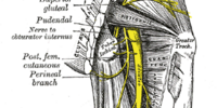 Perineal branches of posterior femoral cutaneous nerve