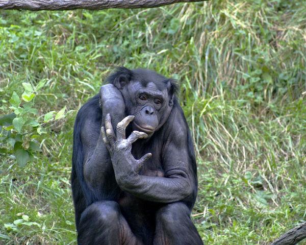 File:Bonobo 009.jpg