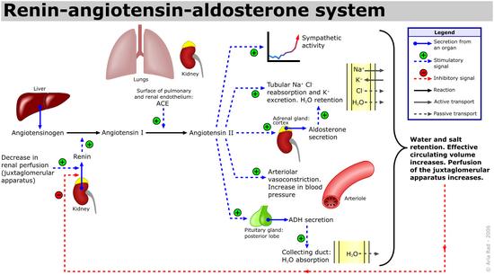Renin-angiotensin-aldosterone system
