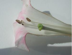 Tobacco blossom 1580
