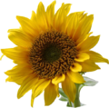 A sunflower-Edited
