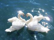 SwansCygnus olor