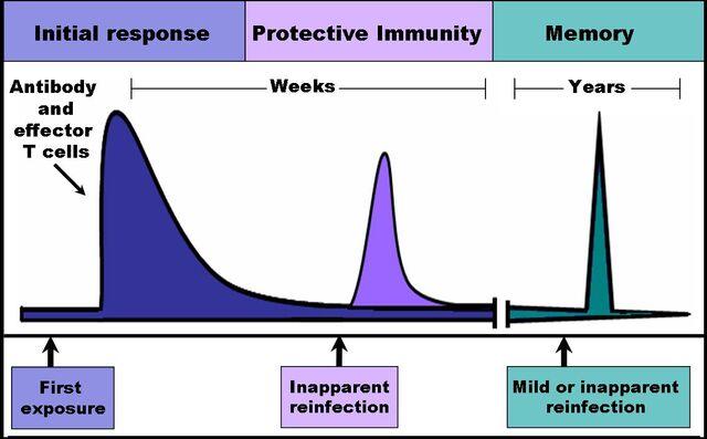 File:Immune response.jpg