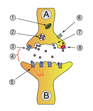 Synapse diag1