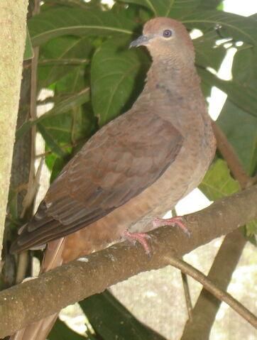File:Brown cuckoo dove.JPG