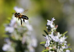 Bee mid air