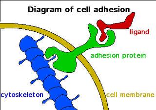 Adhesion
