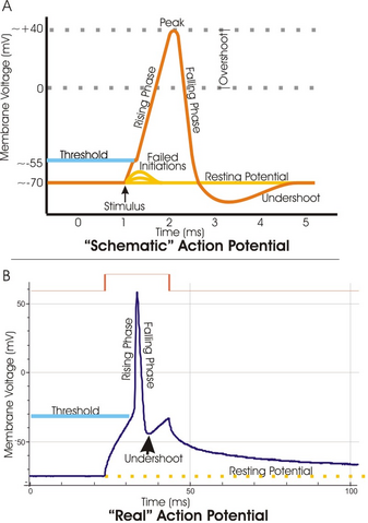 File:Action potential vert.png