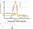 Action potential