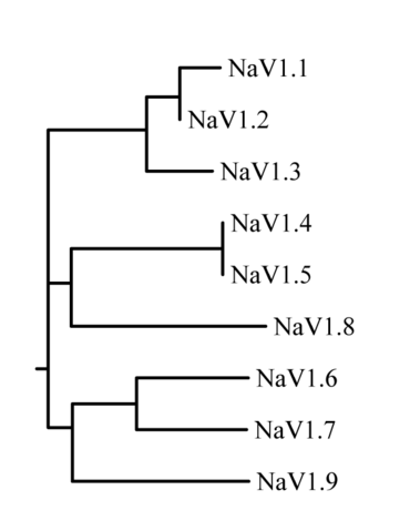File:Sodium channel phylogram.png