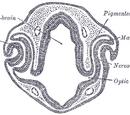 Optic vesicles