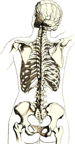 File:Skeleton woman back.jpg
