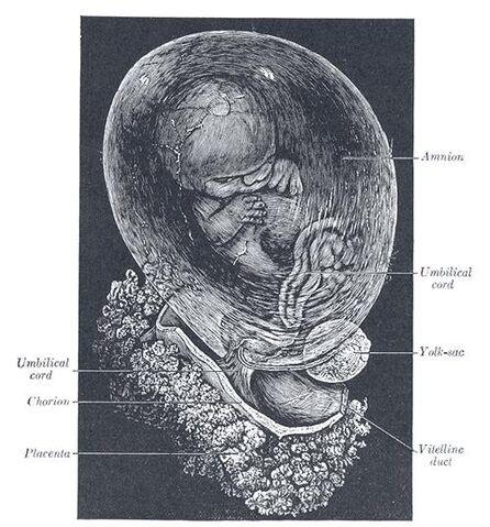 File:Fetus.jpg