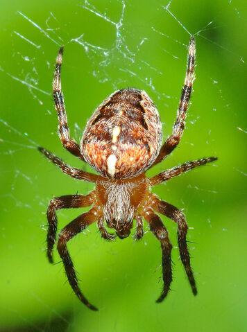 File:Araneus diadematus (aka).jpg